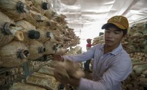 Cận cảnh mô hình trồng nấm bào ngư lớn nhất huyện đảo Phú Quốc