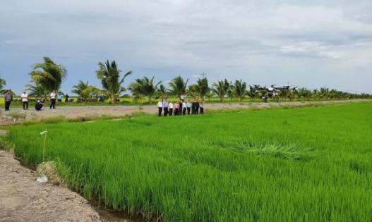 Gieo trồng thử nghiệm thành công giống lúa ST25 - gạo đoạt giải ngon nhất thế giới
